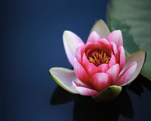 water-lilies-1825477